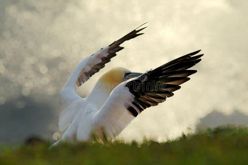 北gannet,海鸟细节头像坐巢,与深蓝海水在背景中,Helgoland 图库摄影