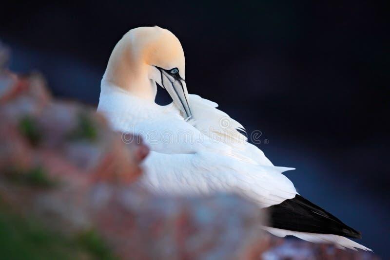 北Gannet,苏拉树bassana,在岩石巢的细节画象,黑暗的海在背景中,在Helgoland海岛上的美丽的鸟, 免版税库存图片