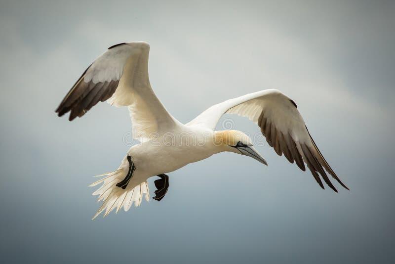 北Gannet (桑属bassanus)在飞行中 免版税库存照片