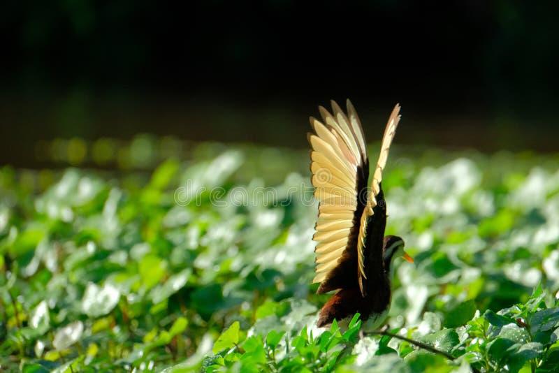 北jacana的翼 免版税库存图片