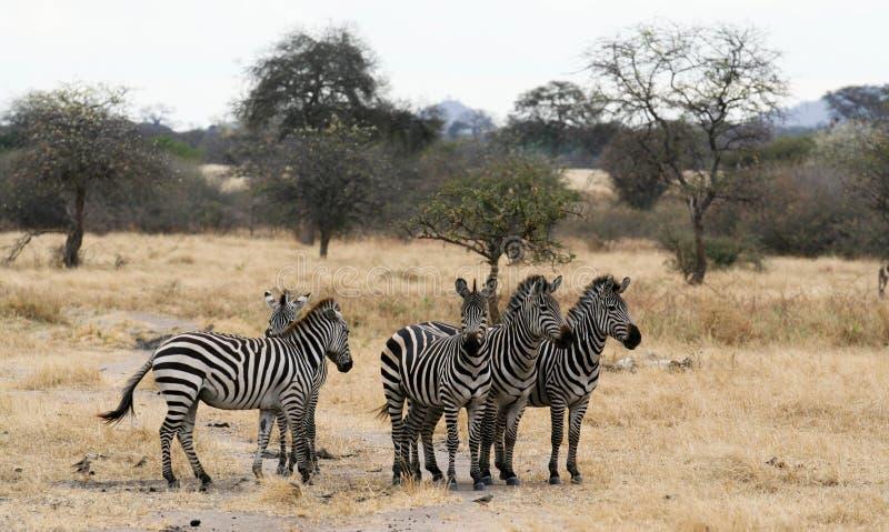 5匹平原斑马紧张地等候 免版税图库摄影
