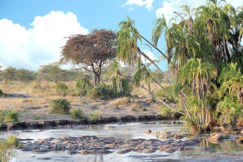2005匹河马池休息的serengeti坦桑尼亚 图库摄影