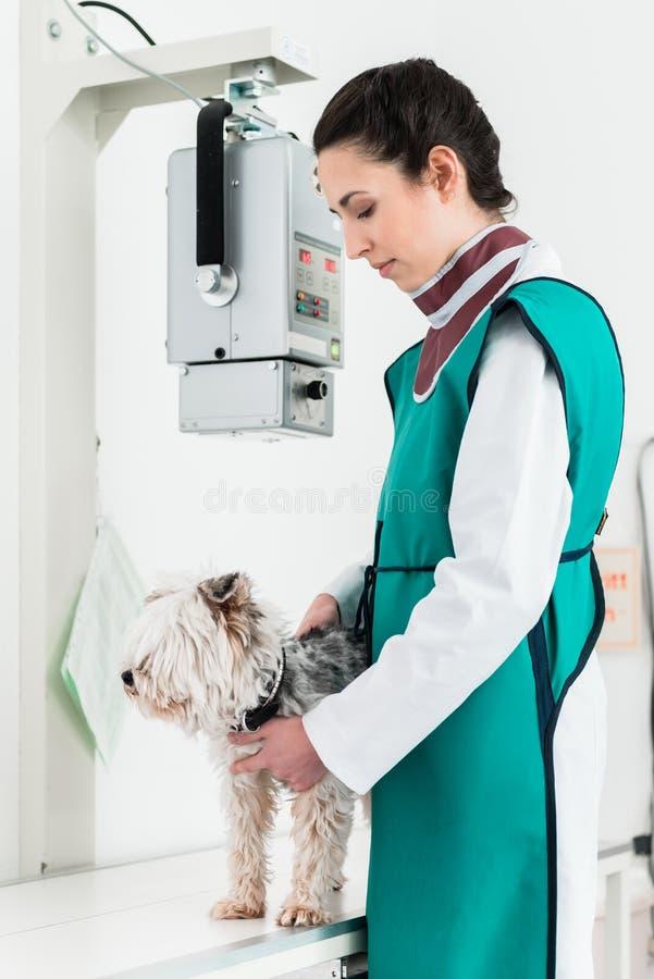 医生审查的狗在X-射线屋子里 免版税图库摄影