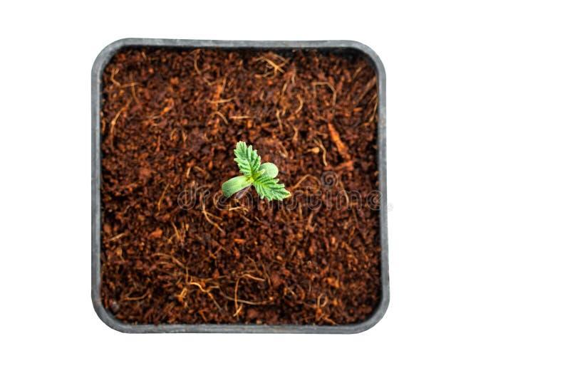医疗大麻植物幼木 免版税库存照片