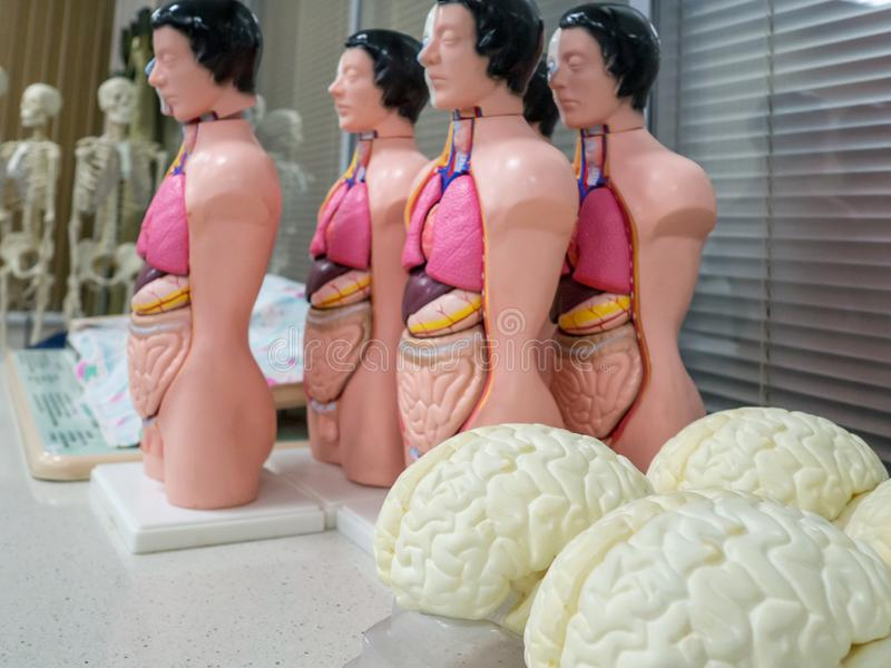 医疗钝汉,骨骼,头骨,器官,脑子,胳膊 免版税库存图片