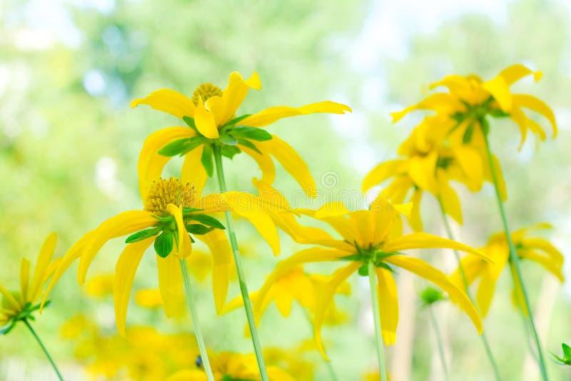医疗topinambur黄色花替代医学的 免版税库存图片