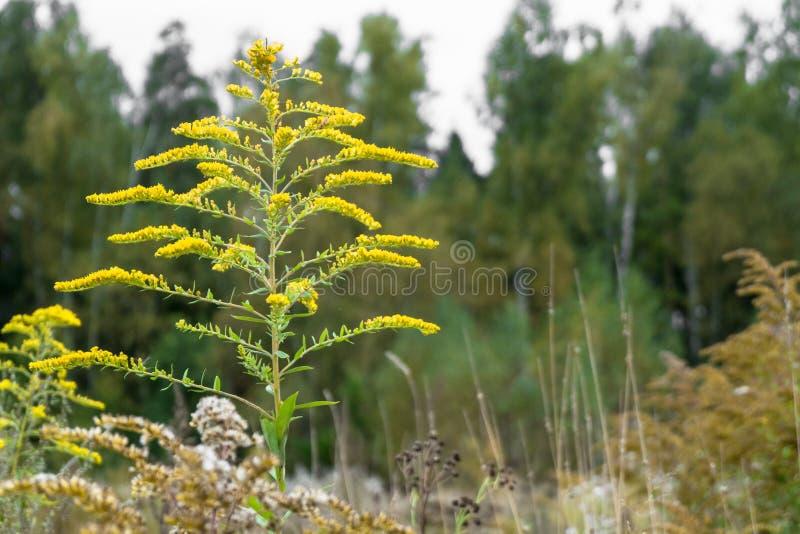 医药草本加拿大菊科植物或一枝黄花canadensis在秋天森林在莫斯科郊区,俄罗斯 库存图片
