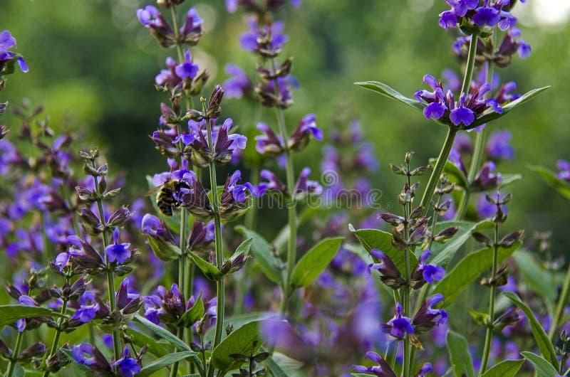 医药草本:与绿色叶子和紫色花的贤哲灌木在庭院里增长在樱桃树旁边 免版税库存图片