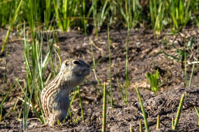 十三线的地松鼠在他的自然疆土在Alamosa全国野生生物保护区在南科罗拉多 库存图片