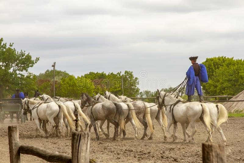 十手中或koch十骑马特技在匈牙利的畜栏 库存图片