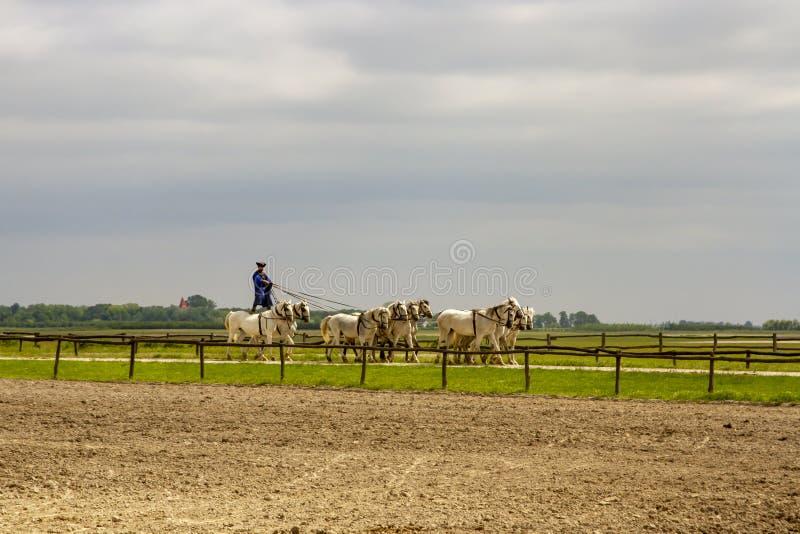 十手中或koch十骑马特技在普斯陶匈牙利畜栏  免版税库存照片