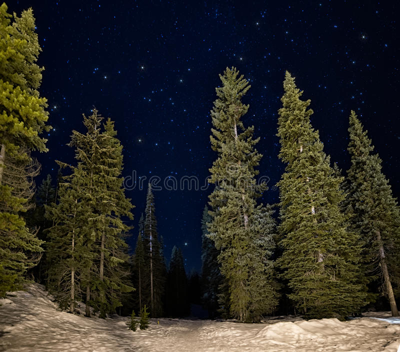 升绿色树在与星的晚上 库存图片
