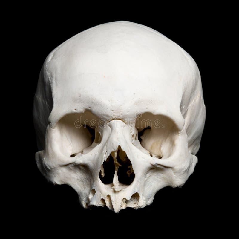 半人力实际头骨较大 免版税库存照片