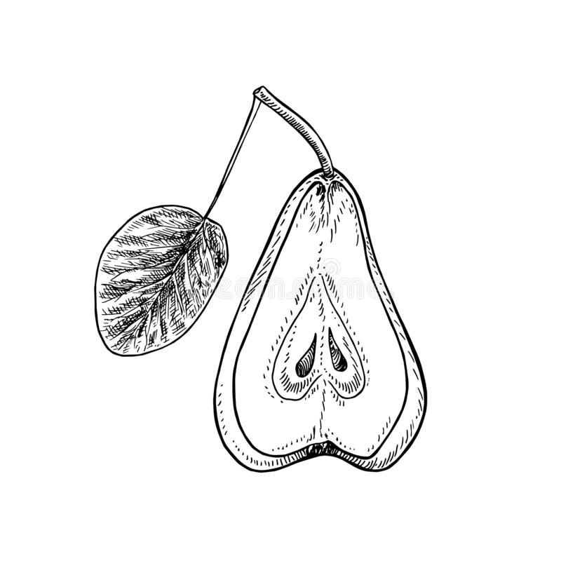 半切叶梨、手绘凹版式、矢量草图图 向量例证