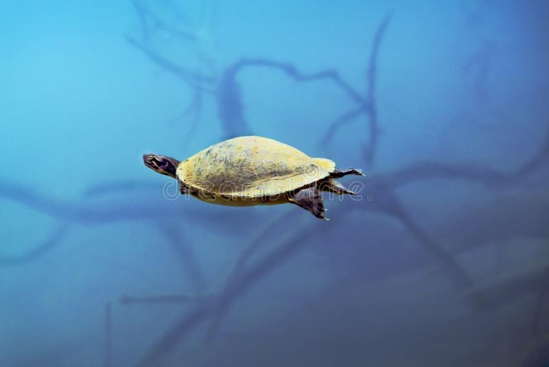 半岛游泳黑鸭的乌龟  免版税库存图片