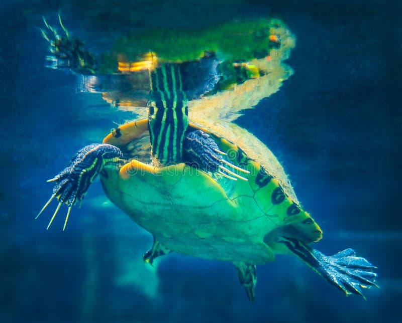 半岛黑鸭乌龟表面呼吸 库存照片