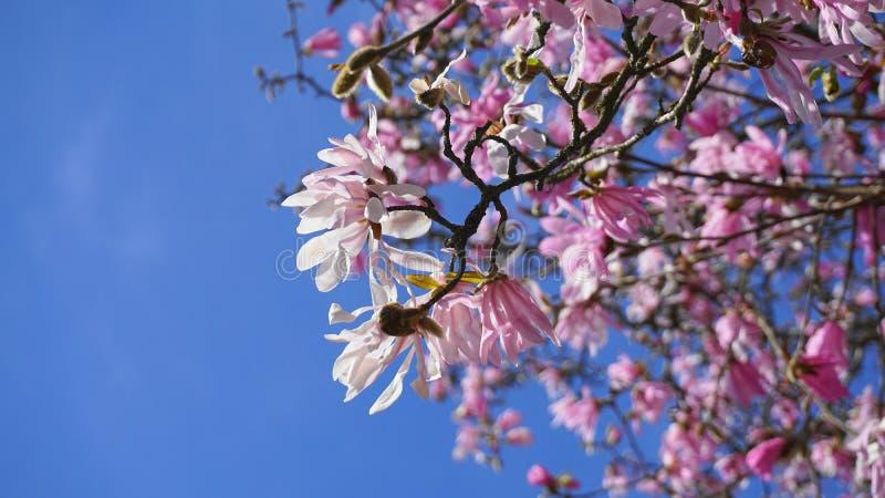 华丽和美丽的木兰stellata桃红色花在分支关闭反对浅兰的背景 库存照片