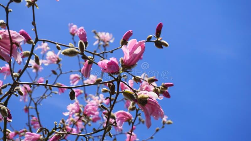 华丽和美丽的木兰stellata桃红色花在分支关闭反对浅兰的背景 免版税图库摄影