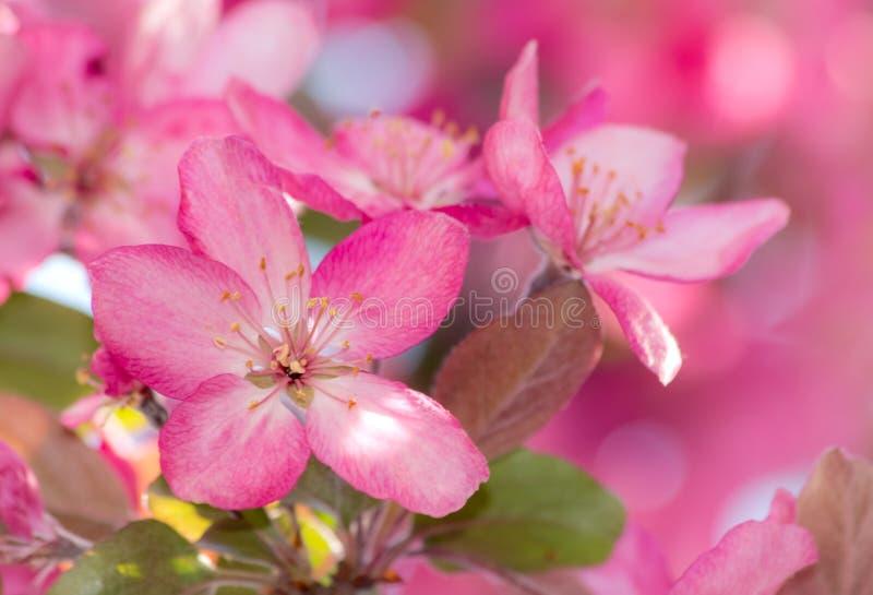 华丽粉红苹果树花 库存照片