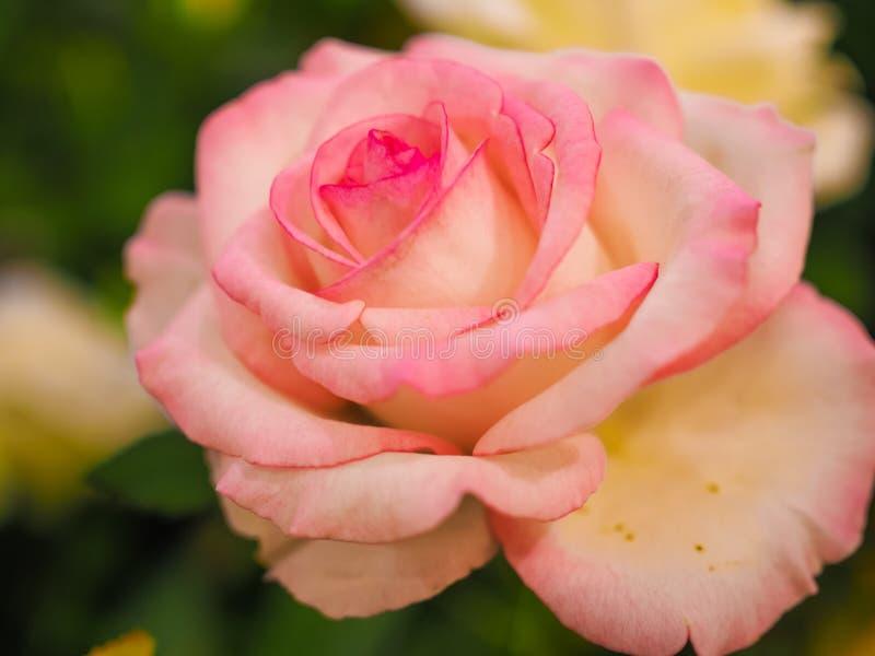 华伦泰的五颜六色的桃红色玫瑰花 免版税库存照片