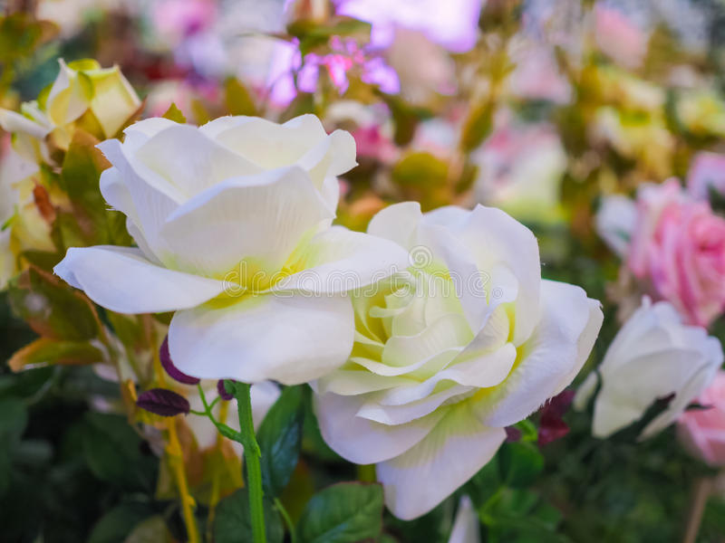 华伦泰的五颜六色的白色玫瑰花 免版税图库摄影