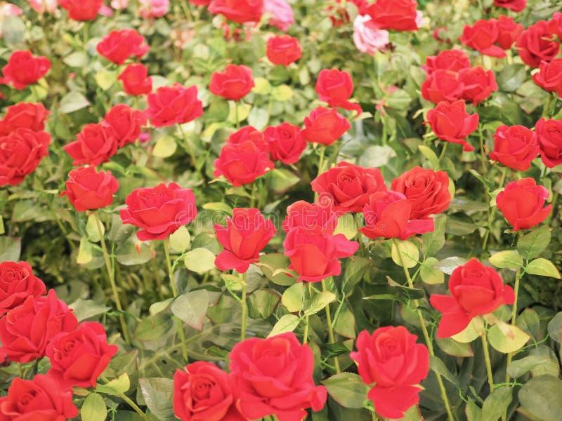 华伦泰的五颜六色的红色玫瑰花 库存图片
