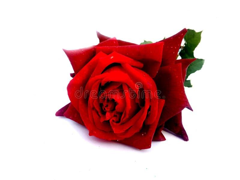 华伦泰红色玫瑰,爱概念 日s华伦泰 免版税库存照片