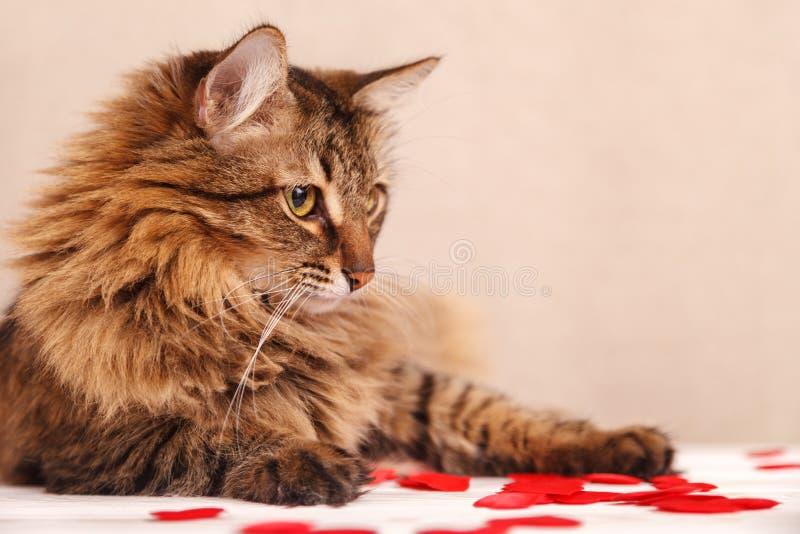 华伦泰` s日背景 一只美丽的蓬松猫在小疏散心脏中说谎,在米黄背景,特写镜头 免版税图库摄影