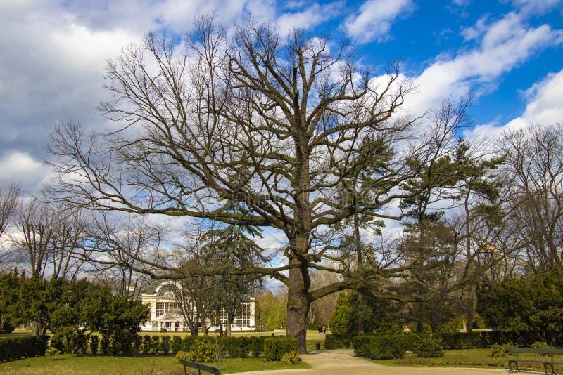华沙,波兰,2019年3月8日:大treee在公园Lazienki 库存图片