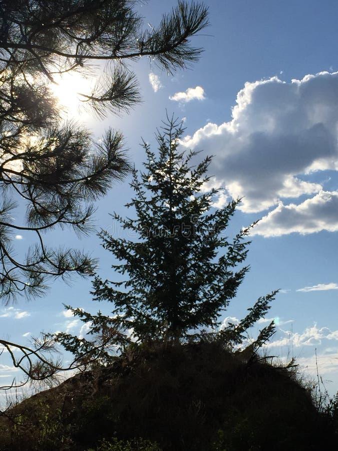 华盛顿州树 免版税库存照片