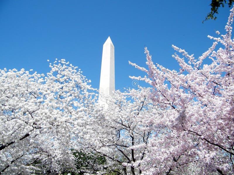 华盛顿樱花树和纪念碑2010年3月 库存图片