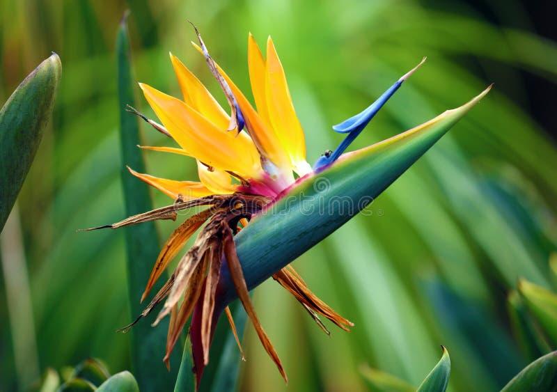 华美的天堂鸟花,五颜六色的花植物的惊人的五颜六色的高定义图片 免版税库存照片