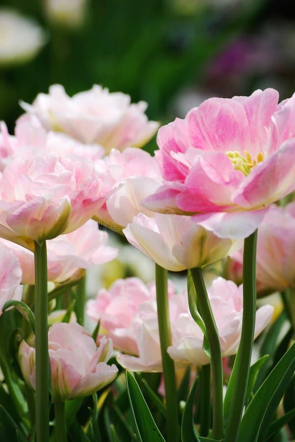华美的桃红色和白色牡丹在春天在莫顿树木园的 库存图片