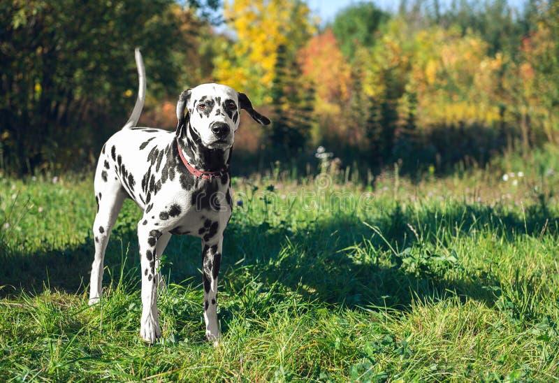 华美的狗品种达尔马提亚狗 免版税库存图片