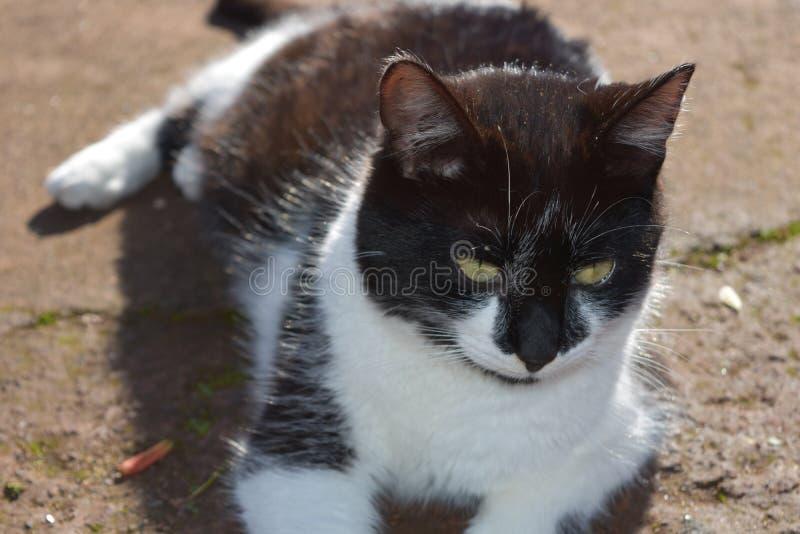 华美的白色和黑短发猫在阳光下 免版税图库摄影