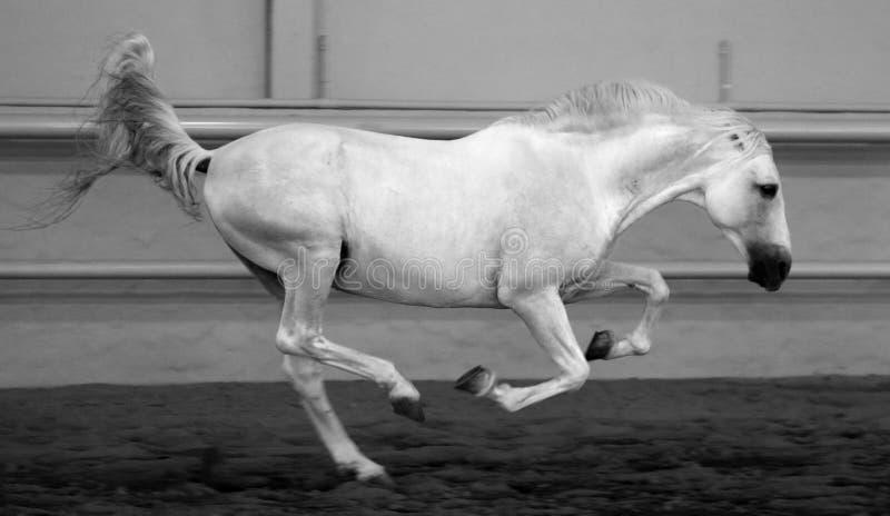 華美的白色安達盧西亞的西班牙公馬,在黑白照片的驚人的阿拉伯馬慢跑圖片