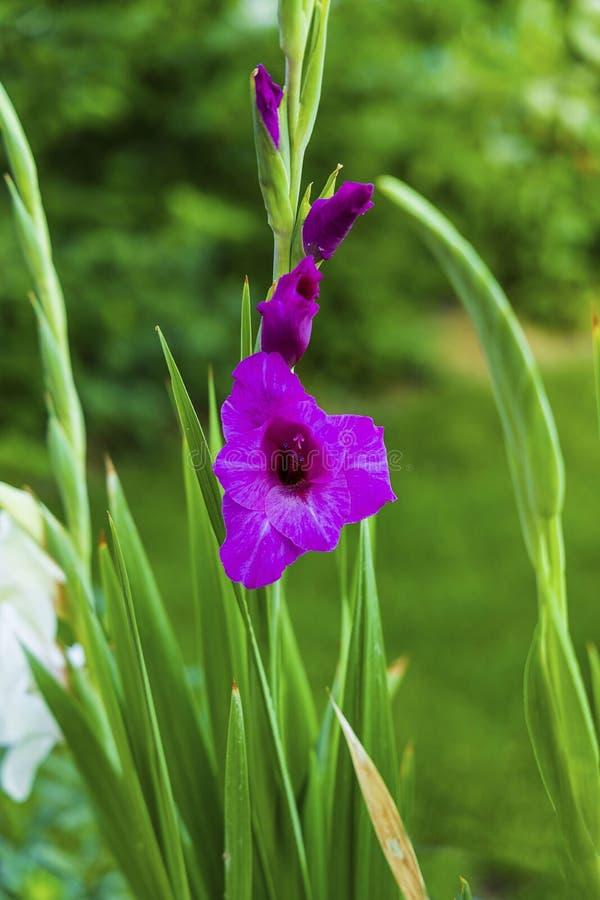 华美的紫色剑兰花宏观看法的美好的关闭在绿色leavs背景的 Sumer花背景 图库摄影