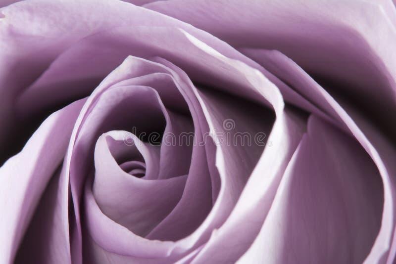 华美的紫色玫瑰,婚姻的花宏观细节  免版税图库摄影