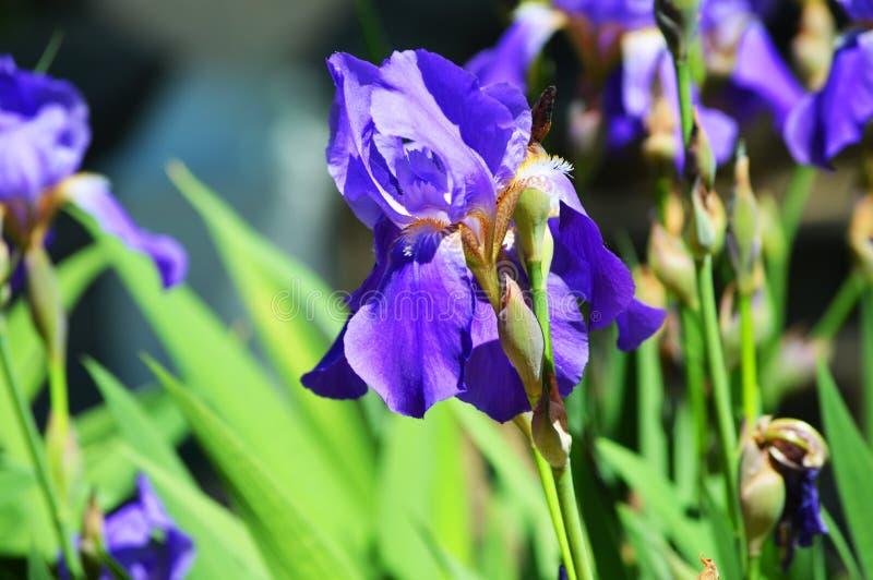 华美的虹膜 与紫罗兰色瓣的美丽的花 免版税库存照片