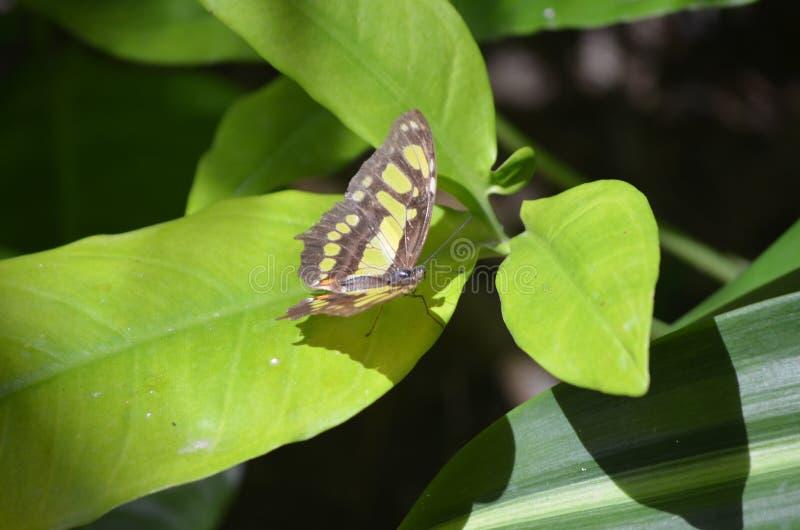 华美的黑和绿色绿沸铜蝴蝶关闭 库存照片