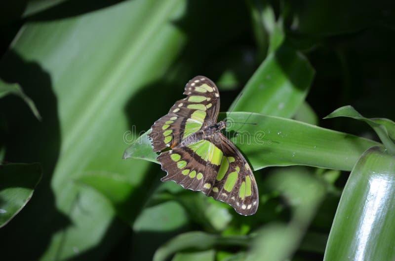 华美的黑和绿色绿沸铜蝴蝶关闭 图库摄影
