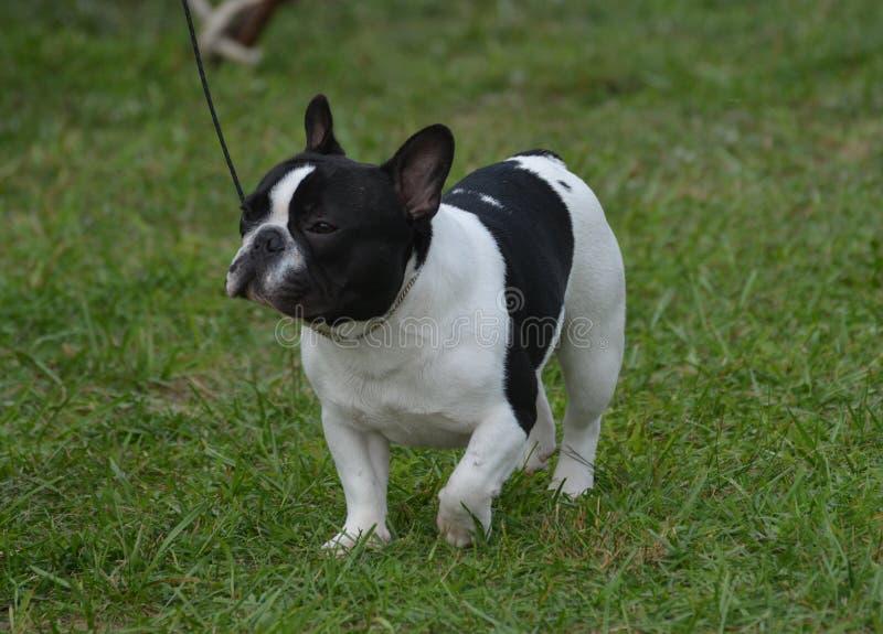 华美的黑白法国牛头犬 库存图片