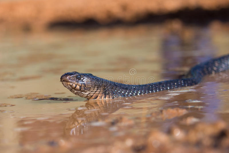 卑鄙看的森王靛蛇在得克萨斯 库存照片