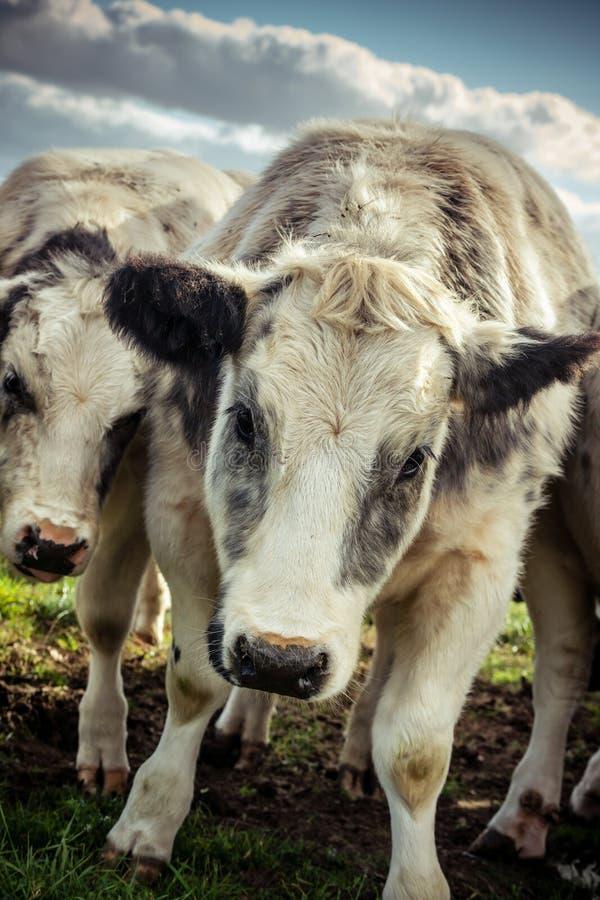 卑鄙看起来的粗野的母牛在一寒冷 库存照片