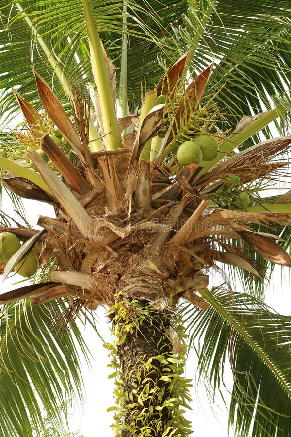卓有成效的椰子树的低角度 图库摄影