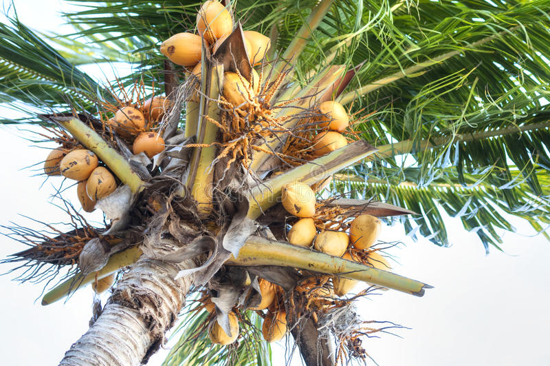 卓有成效的椰子树 免版税库存照片