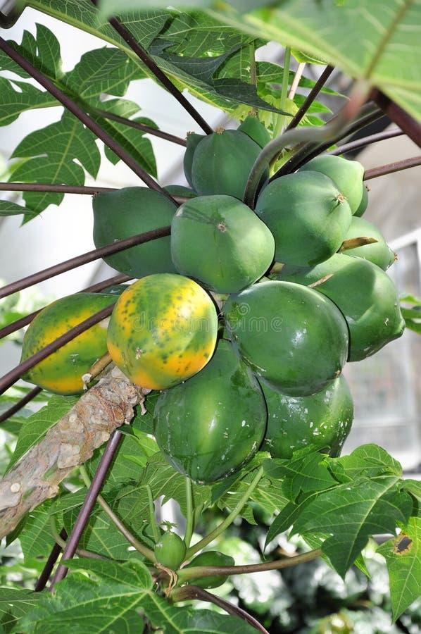 卓有成效的番木瓜是一棵有用和鲜美植物 库存照片
