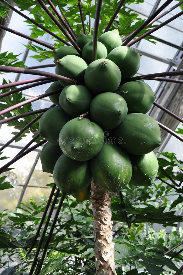 卓有成效的番木瓜是一棵有用和鲜美植物 免版税库存图片