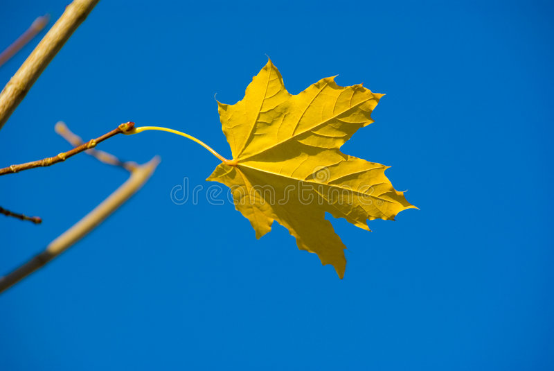 单独叶子槭树 免版税图库摄影