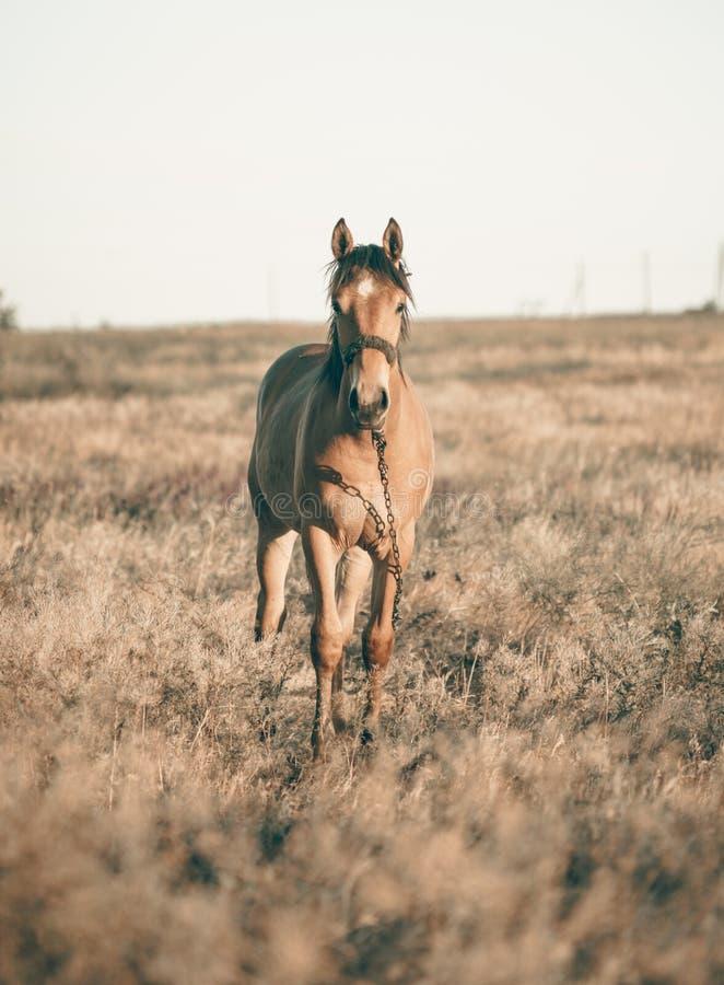 单独吃草在夏天领域的棕色马在日落 免版税库存照片